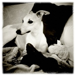 Whippet reclining