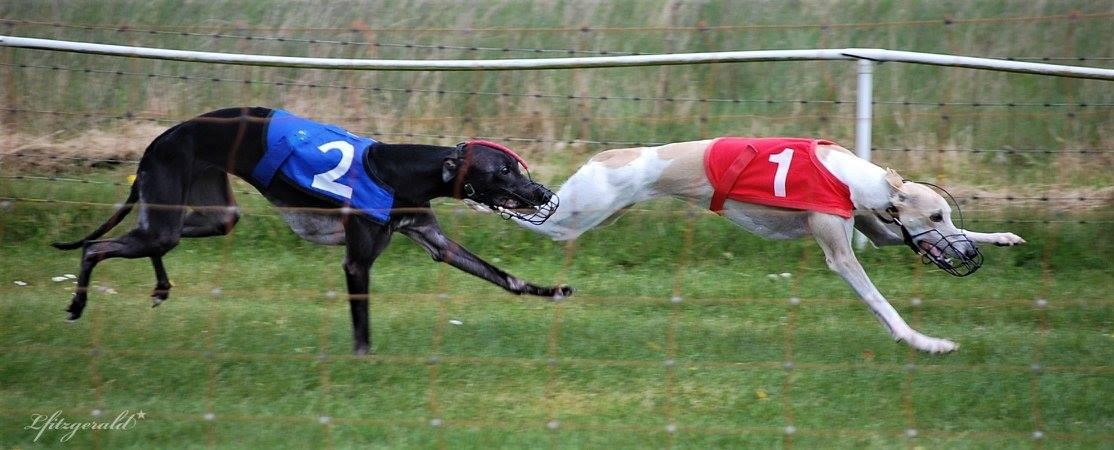 whippet race